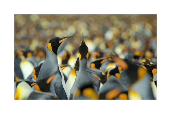 Photo of a sea of king penguins in South Georgia.