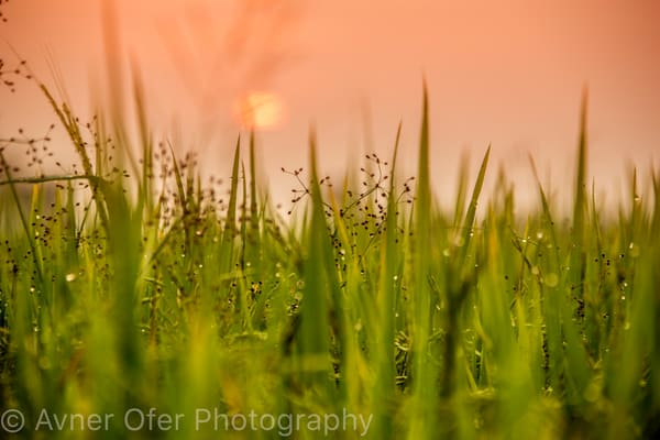 Sunrise in the rice paddy