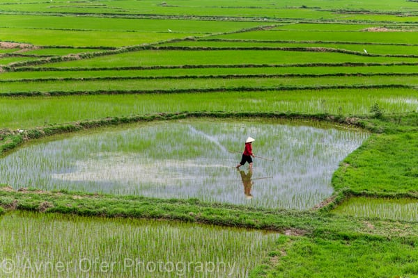 Woman working in rice paddies, Vietnam