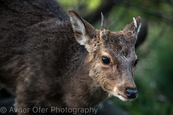 Yakushima deer with horns