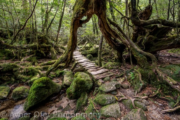 Under the cedar trail, Yakushima, Japan