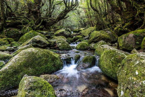Moss forest stream, Yakushima, Japan
