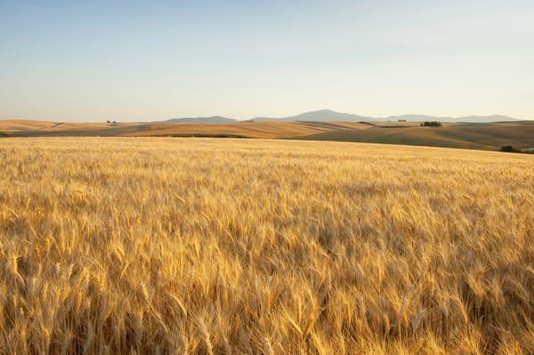 Ripening Soft White wheat in the Palouse region of Spokane County, WA
