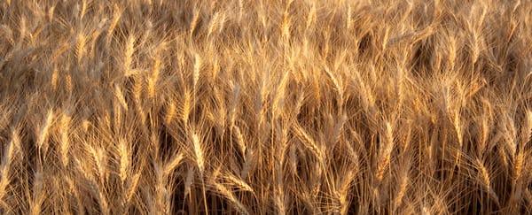 Ripening Soft White Wheat in the Palouse Region of Spokane County, Washington