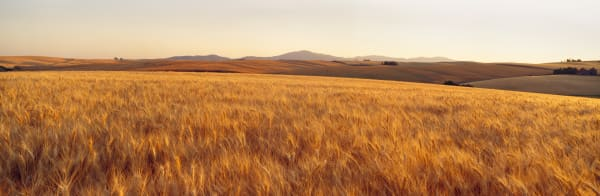 Panoramic view of a field of ripening Soft White wheat in the Palouse region of Spokane County, Washington state.