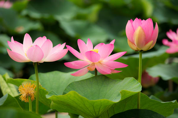 Oga lotus flowers in Chiba park