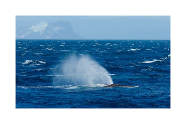 Photo of Fin Whales in Antarctica.