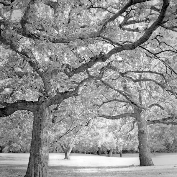 If You Love Trees Collection - bw | Oaks in the Park -bw. Stately oak trees. Fine art black and white photograph by David Zlotky.