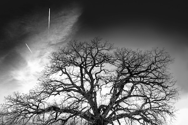 Luminous Light Collection - bw | Contrails - bw. Stunning oak tree with contrails overhead. Fine art black and white photograph by David Zlotky.