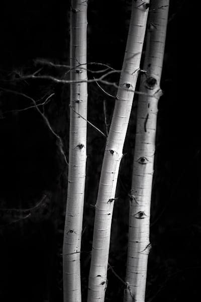 Luminous Light Collection - bw | Aspens 3 - bw. A stunning image of 3 aspen trunks in stark lighting by fine art photographer, David Zlotky.