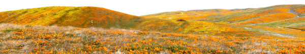BURSTING POPPY PANORAMA