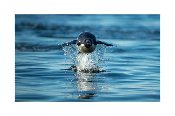 A photograph of the Flying Penguin