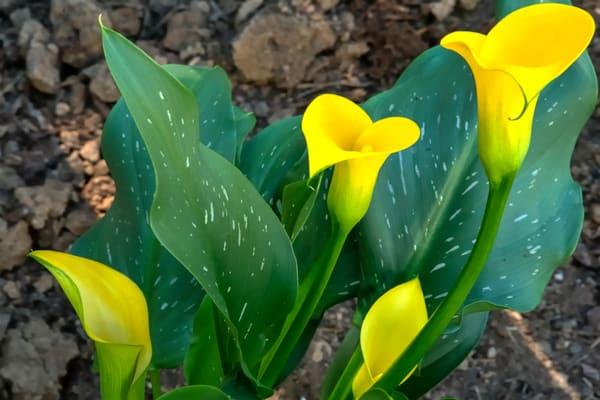 Four Calla Lilies