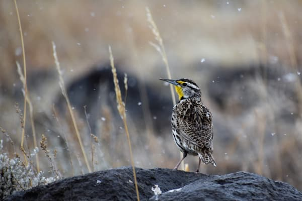 Photograph of Wyoming's State Bird for sale as Fine Art