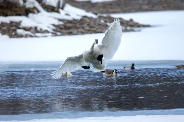 Swan Nature Prints   Robbie George Photography