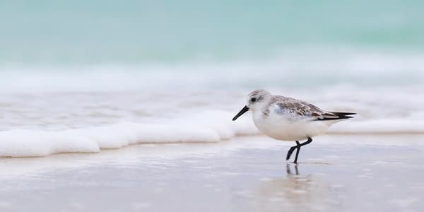 Sanderling Sandpiper walking the seashore | Emerald Coast, Florida  | Fine Art Landscape Photography on Canvas, Paper, Metal | Photography by Jeff Waldorff