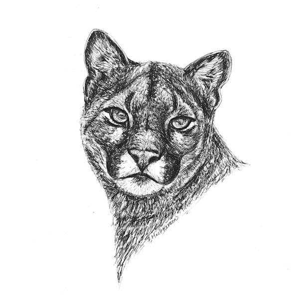 Mountain Lion- Fine Art Print of Original Pen and Ink Illustration by Becky MacPherson