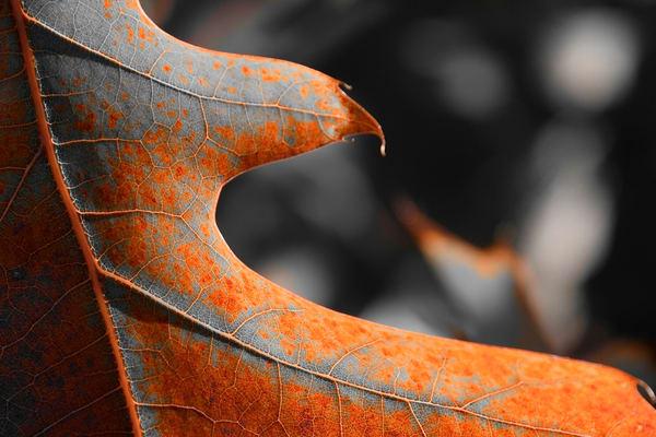 Cougar Rusty Leaf Detail