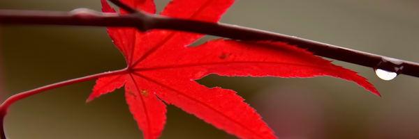 Red Leaf Rain Drop