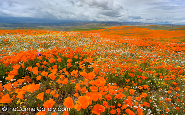 Wildflower Symphony Art | The Carmel Gallery