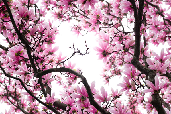 tree branches filled with magnolia blossoms