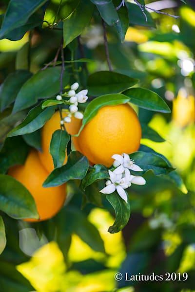 """""""Ojai Oranges"""""""