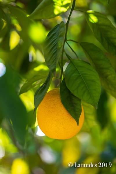 """Ojai Orange Crop"""