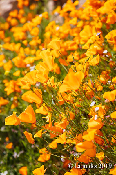 """California Poppy Field"""