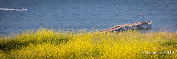 Ventura Wildflower