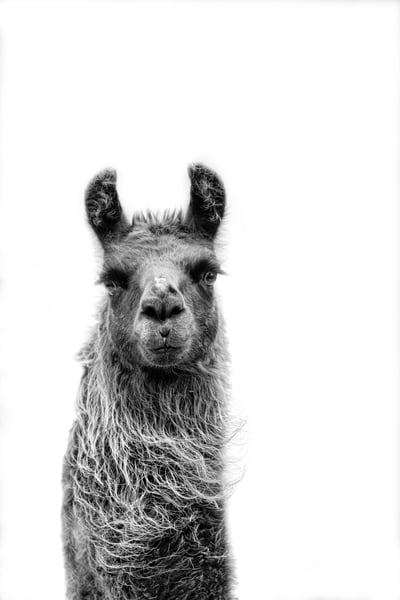 Llama Look At You