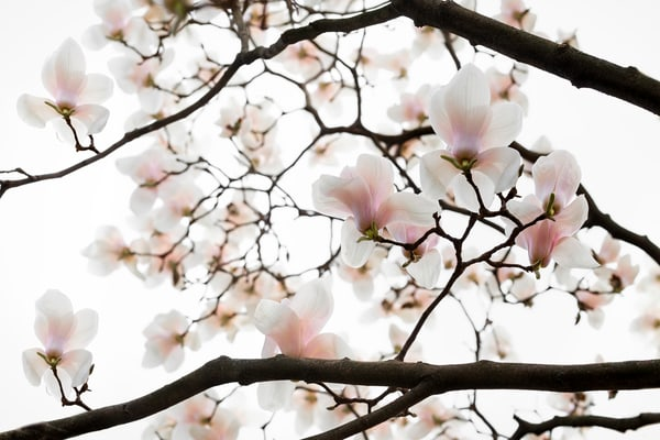 white magnolia blossoms and tree branches