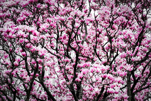 magnolia trees and branches filled with flowers