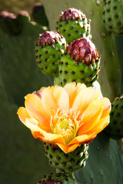 Prickly Pear Cactus Blossom | Jim Parkin Fine Art Phtography