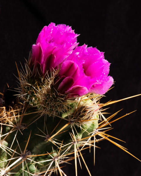 Hedgehog Cactus Blossoms | Jim Parkin Fine Art Photography