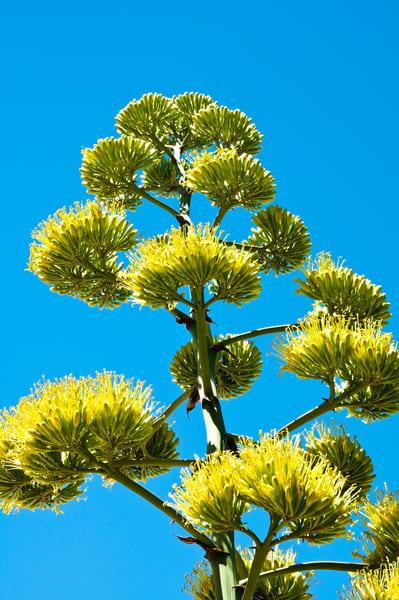 Century Plant blossoms   Jim Parkin Fine Art Photography