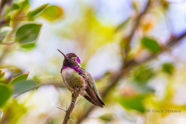 Male Costa's Hummingbird Photography Art by Streano-Havens