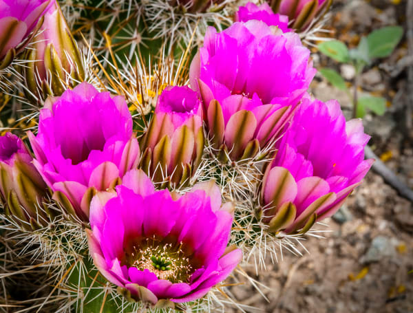 New Cactus Blossoms | Jim Parkin Fine Art Photography