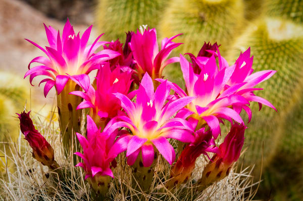 Pink Cactus Blossoms | Jim Parkin Fine Art Photography