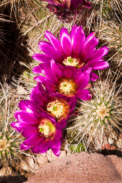 Hedgehog Cactus Blossoms #4 | Jim Parkin Fine Art Photography