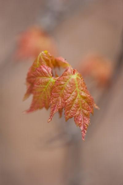 Colorful young maple leaves unfurling - shop prints | Closer Views