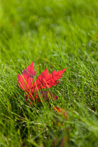 Bright Red Maple in bright green grass - shop prints | Closer Views