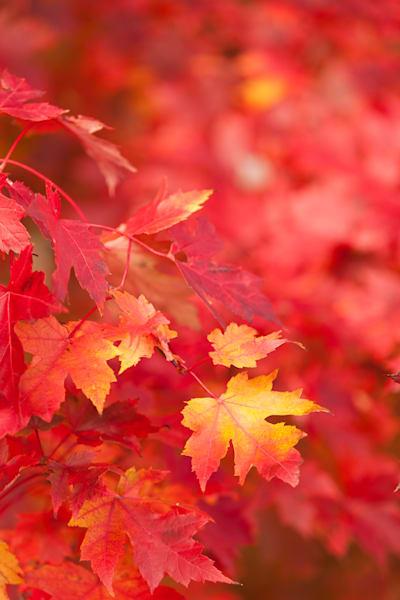 Bright Red Maple leaves ablaze - shop prints | Closer Views