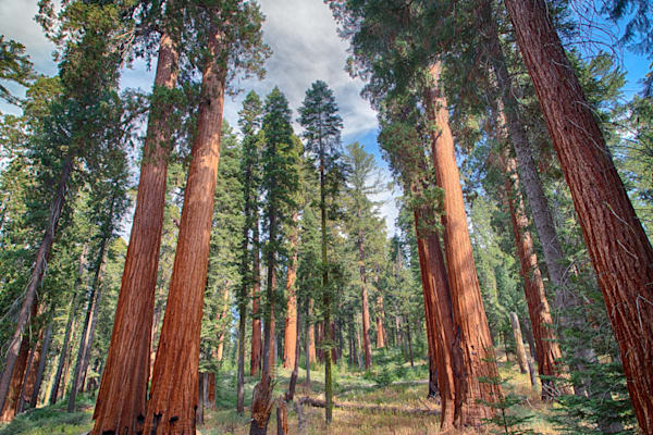 Amongst The Sequoia Photography Art | Will Nourse Photography