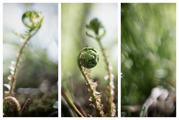 Fiddlehead Triptych