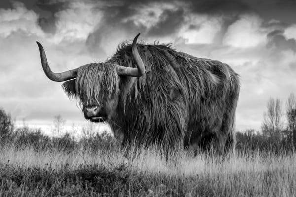 The Bull | Koop kunstfotografie print online | A-Galleria