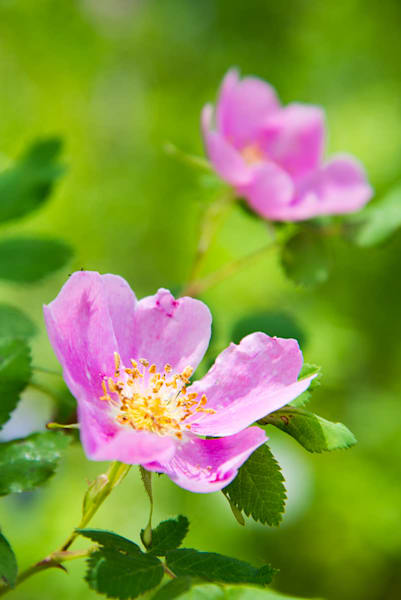 Pink wild Raspberry flowers in Colorado