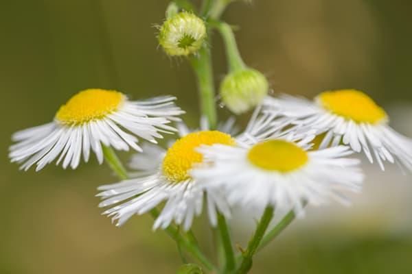 Soft daisy fleabane on soft background - shop prints | Closer Views