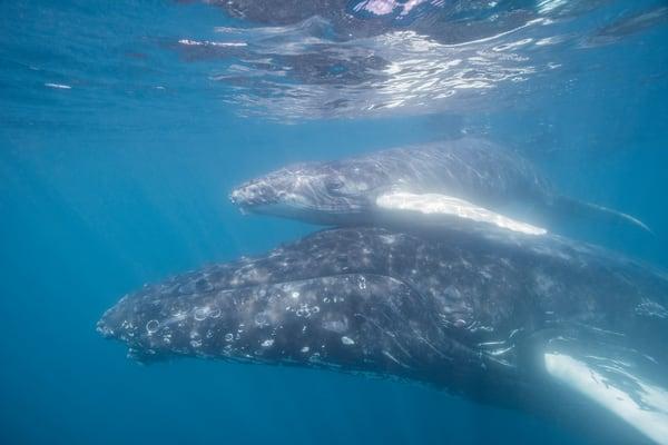 Humpback Mother and Calf, Sea of Cortez, Mexico