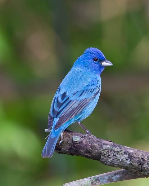 The Other Bluebird  Indigo Bunting Photography Art | Jim E Johnson Photography