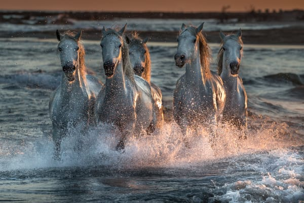 Carmague horses race through the surf at sunset